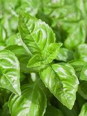 Basil Leaves Closeup — Stock Photo