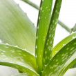 Aloe vera on white background - Foto Stock