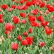 Tulip field in spring — Stockfoto