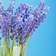 Bunch of grape hyacinth — Stock Photo #3113491