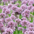 Close up of the flowers of some Chives — Stock Photo #3114100
