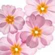 Primula flowers on the white background - Stock Photo