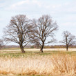 Stock Photo: Spring oak trees in the field