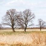 Spring oak trees in the field — Stock Photo