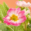Royalty-Free Stock Photo: Pink primroses