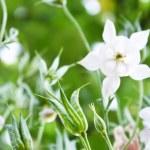 White aquilegia — Stock Photo