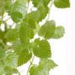 Mint leaves — Stock Photo #3118841