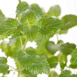Stock Photo: Mint leaves