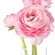 Pink Ranunculus — Stock Photo #3119743