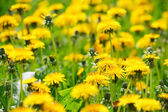 Meadow with dandelions — Stock Photo