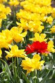 Campo del tulipán en primavera — Foto de Stock