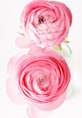 Pink Ranunculus — Stock Photo