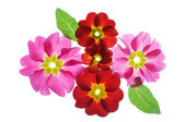 Primula flowers on the white background — Stock Photo