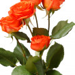 Orange roses — Stock Photo