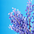 Bunch of grape hyacinth — Stock Photo