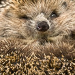 Hedgehog — Stock Photo #2720174