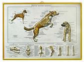 Canine skeletal anatomy — Stock Photo