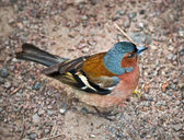 The Chaffinch — Foto de Stock