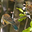 Stock Photo: Song thrush (Turdus philomelos)