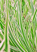 Carex variegata, grass — Stock Photo