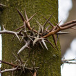 Trunk of a tropical tree with sharp spikes — Stock Photo