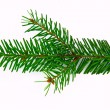 Fir branch — Stock Photo #2810537