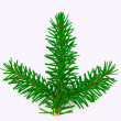 Fir branch — Stock Photo