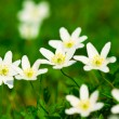 Stock Photo: Wood anemone (Anemone nemorosa)