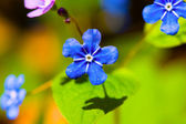 Forget me not flower — Stock Photo