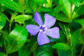 Summer garden - Periwinkle flowers — Stock Photo