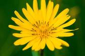 Meadow Salsify (Tragopogon pratensis ) — Stock Photo
