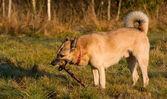 West Siberian laika (husky) — Stock Photo