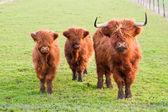Grazing yak and two baby yaks — Stock Photo