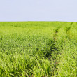 Green grass field - Stock Photo