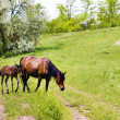 Stock Photo: Wild steppe horses on graze
