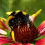 Big bumblebee on red yellow flower — Stock Photo #2770847