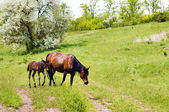 Wild steppe horses on graze — Stock Photo
