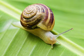 Snail on leaf — Stock Photo
