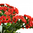 kalanchoe red flowers — Stock Photo