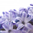 Hyacinthus — Stock Photo