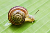 Snail on leaf — Foto Stock