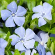 Vinca minor — Stock Photo