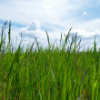 Stock Photo: Green grass and blue sky