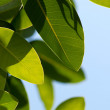 Magnolia leaves — Stock Photo
