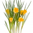 Stock Photo: Crocus yellow flowers