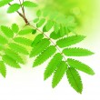 Stock Photo: Green branch