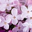 Flowers lilac — Stock Photo #3909368