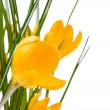 Stock Photo: Crocus yellow flowers isolate