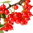 Red currant — Stock Photo #3909633