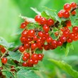 Red currant — Stock Photo #3909719